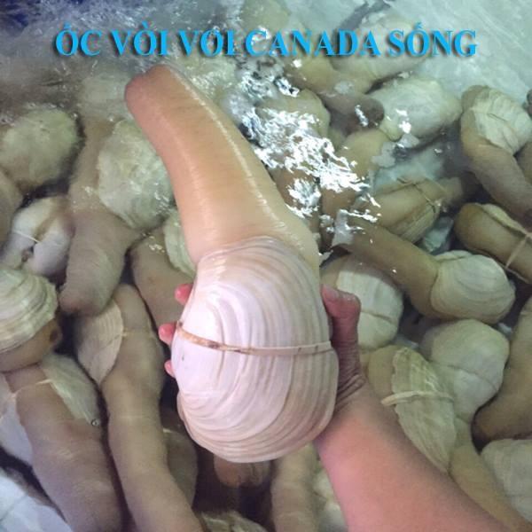 Ốc vòi voi Canada sống