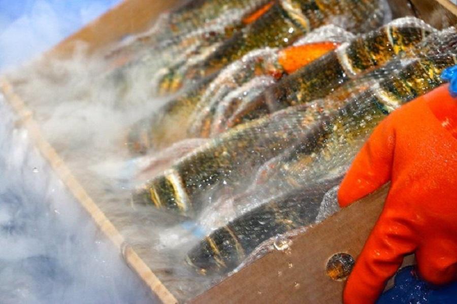 Tôm hùm Canada đông lạnh được bảo quản lạnh ngay sau khi đánh bắt