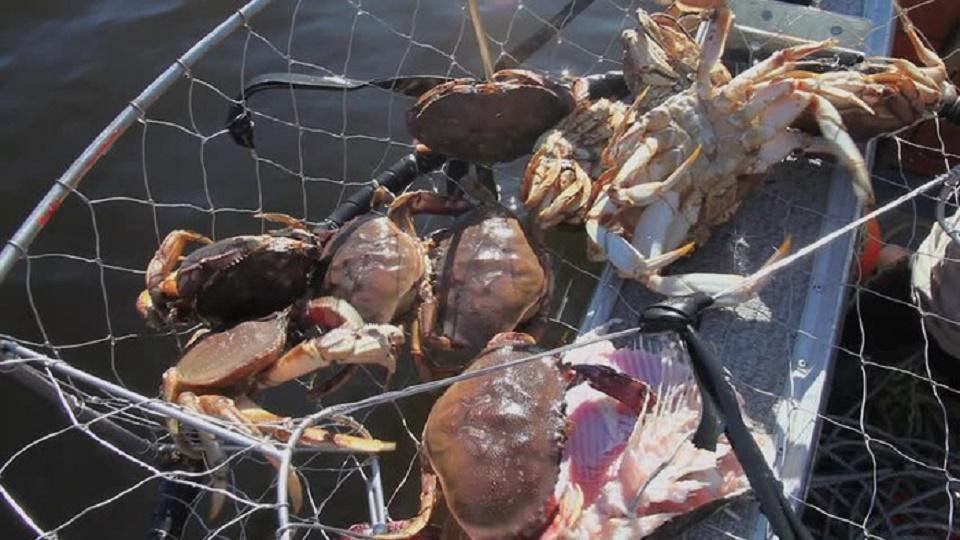 Cua đá sống tự nhiên trong lòng biển vì vậy hương vị của nó luôn để lại ấn tượng khó quên đối với mọi thực khách